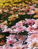 Chrysanthemum flowers bed Stock Photos