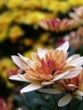 Chrysanthemum flowers bed Royalty Free Stock Photos