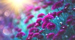 Chrysanthemum flowers blooming in a garden. Beauty autumn flowers. Bright vivid colors royalty free stock photos