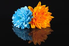 Chrysanthemum flowers, blue and orange color, on black background Royalty Free Stock Images