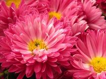Chrysanthemum flowers bouquet. Beautiful vibrant pink and yellow autumn garden flower. stock photography