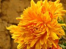 Chrysanthemum flowers bouquet. Beautiful vibrant orange yellow autumn garden flower on blurred background. . stock photos