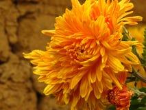 Chrysanthemum flowers bouquet. Beautiful vibrant orange yellow autumn garden flower on blurred background. royalty free stock image