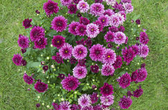 Chrysanthemum flowers. Bouquet of flowers on green background Stock Image