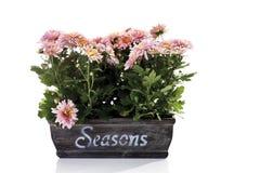 Chrysanthemum flowers (Chrysanthemum indicum) in flower box Stock Photo