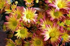 Chrysanthemum Flowers Royalty Free Stock Images