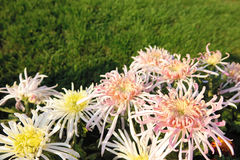 Chrysanthemum flowers Stock Images
