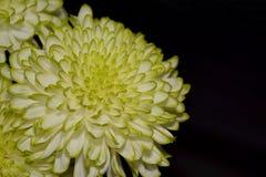 Chrysanthemum flowers,close up Royalty Free Stock Photos