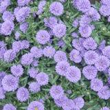 Chrysanthemum flowers closeup Stock Images