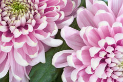 Chrysanthemum flowers. Stock Photography