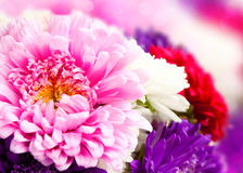 Chrysanthemum flowers Stock Photography