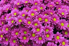 Chrysanthemum Flowers. Royalty Free Stock Images