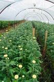 Chrysanthemum Flowers Farms Royalty Free Stock Photos