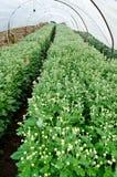 Chrysanthemum Flowers Farms Royalty Free Stock Photography
