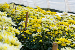 Chrysanthemum Flowers Farms Stock Image