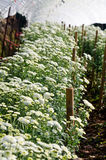 Chrysanthemum Flowers Farms Royalty Free Stock Images