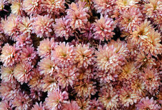 Chrysanthemum flowers at the flowerbed Stock Photos