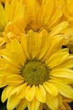 Chrysanthemum Flowers in garden Royalty Free Stock Photos