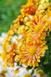 Chrysanthemum flowers grow outdoors in the fall Stock Photography