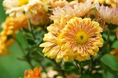 Chrysanthemum flowers grow outdoors in the fall Stock Photo