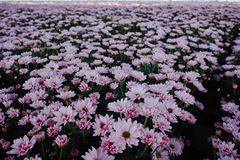 Chrysanthemum flowers growth in huge Dutch greenhouse, flowers f Stock Photo