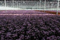 Chrysanthemum flowers growth in huge Dutch greenhouse, flowers f Royalty Free Stock Photos