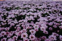 Chrysanthemum flowers growth in huge Dutch greenhouse, flowers f Stock Photos