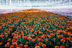 Chrysanthemum flowers growth in huge Dutch greenhouse, flowers f Stock Images