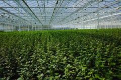 Chrysanthemum flowers growth in huge Dutch greenhouse, flowers f Royalty Free Stock Photo