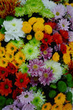 Chrysanthemum flowers growth in huge Dutch greenhouse, flowers f Royalty Free Stock Photography