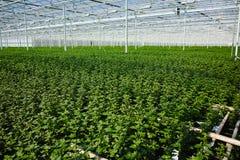 Chrysanthemum flowers growth in huge Dutch greenhouse, flowers f Stock Image
