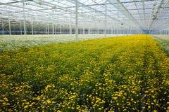 Chrysanthemum flowers growth in huge Dutch greenhouse, flowers f Royalty Free Stock Image
