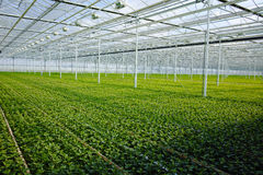 Chrysanthemum flowers growth in huge Dutch greenhouse, flowers f Royalty Free Stock Images