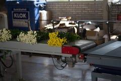 Chrysanthemum flowers growth in huge Dutch greenhouse, packaging Royalty Free Stock Photo
