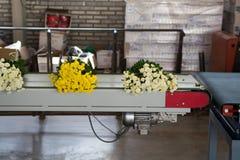 Chrysanthemum flowers growth in huge Dutch greenhouse, packaging Royalty Free Stock Image