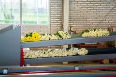 Chrysanthemum flowers growth in huge Dutch greenhouse, packaging Stock Images