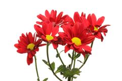 Chrysanthemum flowers isolated royalty free stock images