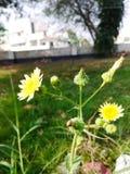 Beautiful Chrysanthemum flower plant royalty free stock images