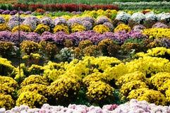 Chrysanthemum flowers Stock Photo