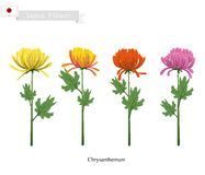 Chrysanthemum Flowers, The National Flower of Japan Royalty Free Stock Photo