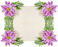 Chrysanthemum Flowers and Old Paper. Stock Images