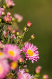 Chrysanthemum flowers. Some blooming pink chrysanthemum flowers Stock Photography