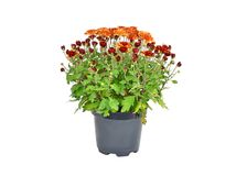 Chrysanthemum flowers sprout in pot Royalty Free Stock Photography