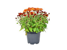 Chrysanthemum flowers sprout in pot Stock Image