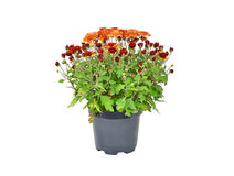 Chrysanthemum flowers sprout in pot Stock Photography