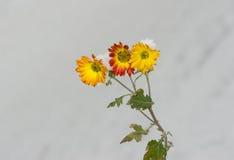 Chrysanthemum flowers under snow Stock Photography