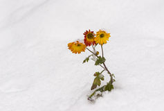 Chrysanthemum flowers under snow pressure Stock Image