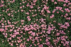 Chrysanthemum flowers wall Stock Photography