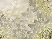 Chrysanthemum flowers. white and green background. floral collage. flower composition. Close-up. Chrysanthemum flowers. white and green  background. floral royalty free stock photography