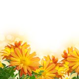 Chrysanthemum frame Royalty Free Stock Image